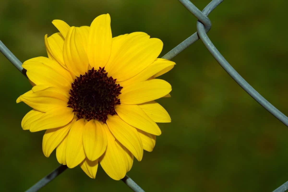 still life, fence, iron, flower, petal, plant, garden, summer, flora, blossom