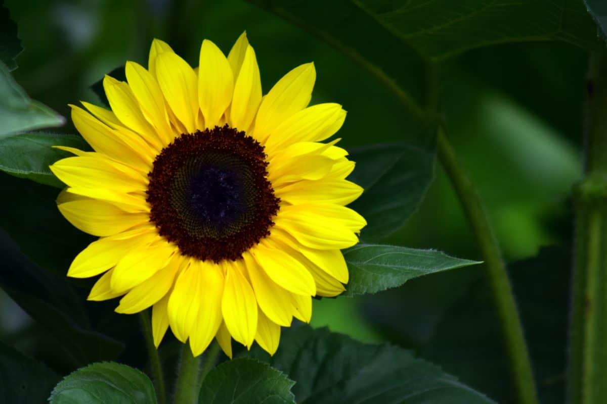 tournesol, fleur, champ, plante, l'agriculture, lumière du jour, pétale, été, pétale