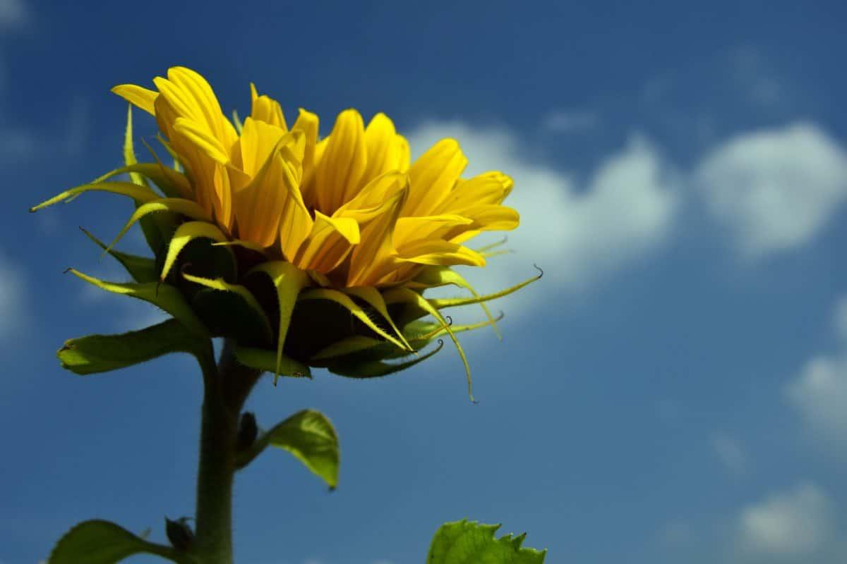 azul del cielo, la luz del día, al aire libre, naturaleza, verano, flor, flora, girasol, hoja, bella, flor de