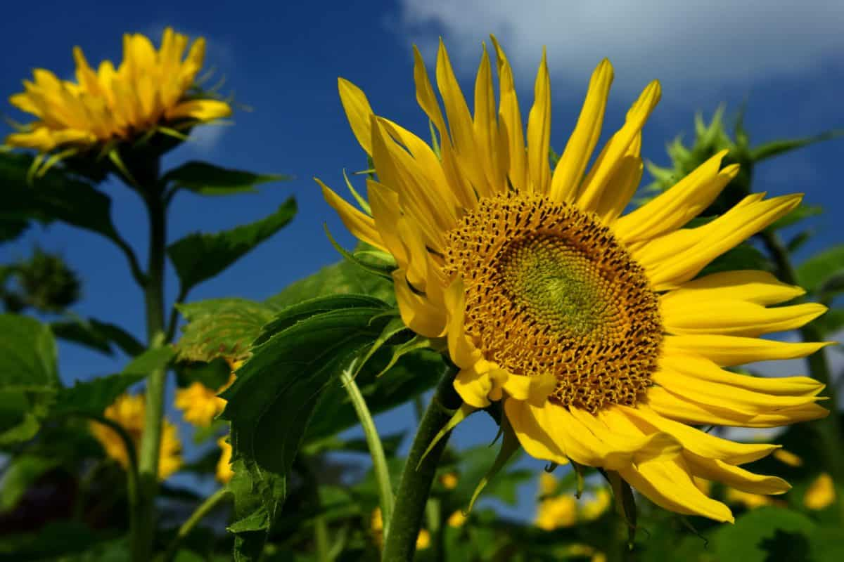 blue sky, summer, flower, flora, sunflower, leaf, beautiful, colorful, agriculture, organic