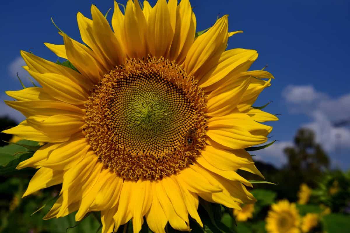 Sonnenblume, Blume, Sommer, Pflanze, Feld, Landwirtschaft, Blütenblatt