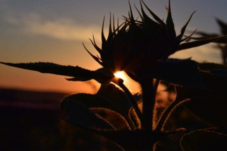 sky, sun, sunset, shadow, sunflower, dusk, night