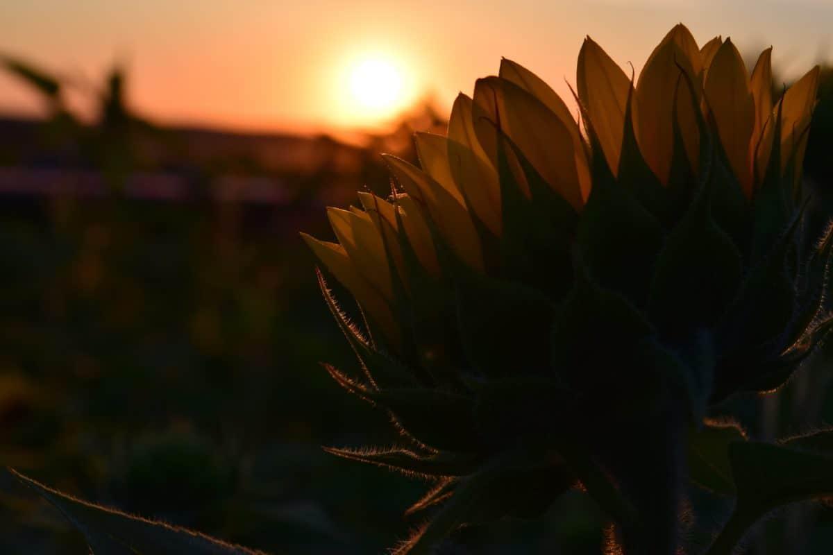 al atardecer, puesta de sol, sombra, hierba, girasol