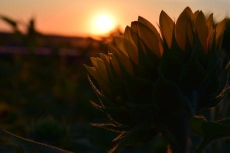 dusk, sunset, shadow, herb, sunflower
