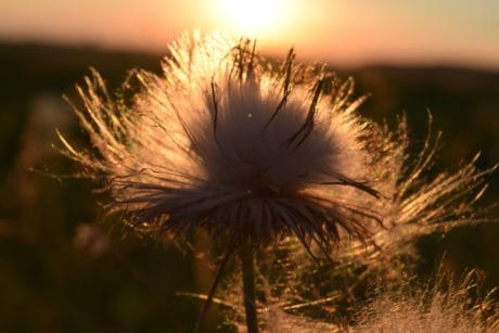 herb, thistle, sunset, outdoor, nature, silhouette, detail, shadow