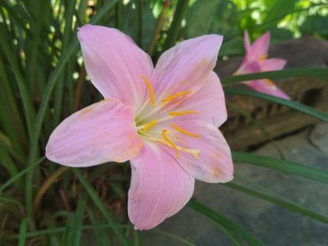lily, pistil, nature, garden, green leaf, flora, flower, summer, plant, pink