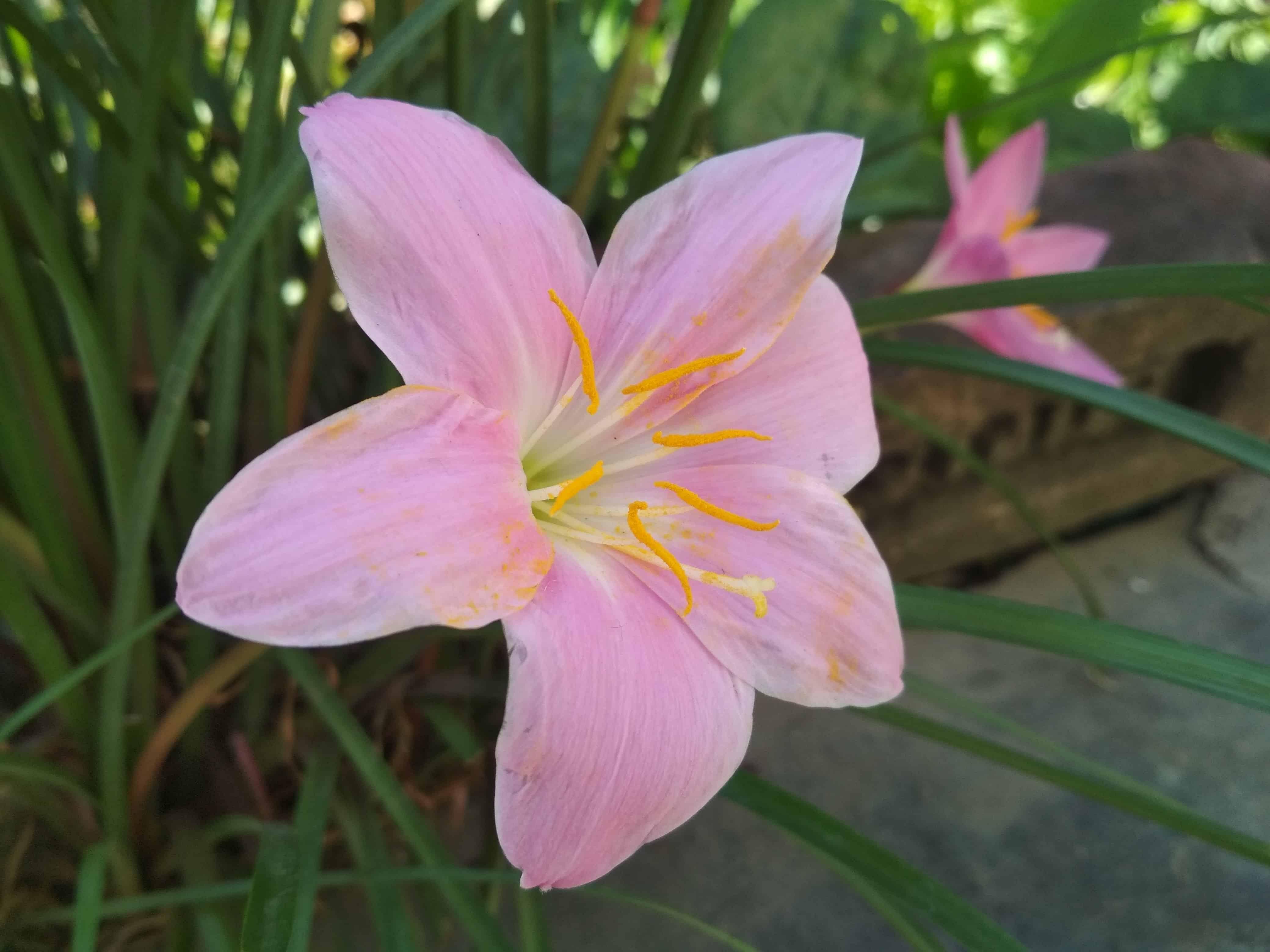 Free picture: lily, pistil, nature, garden, green leaf ...