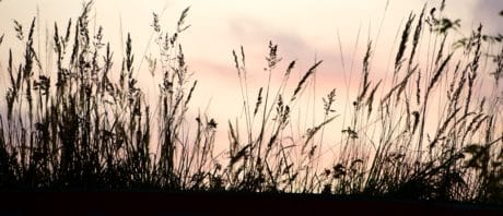grass, reed grass, sky, silhouette, plant, dusk, shadow