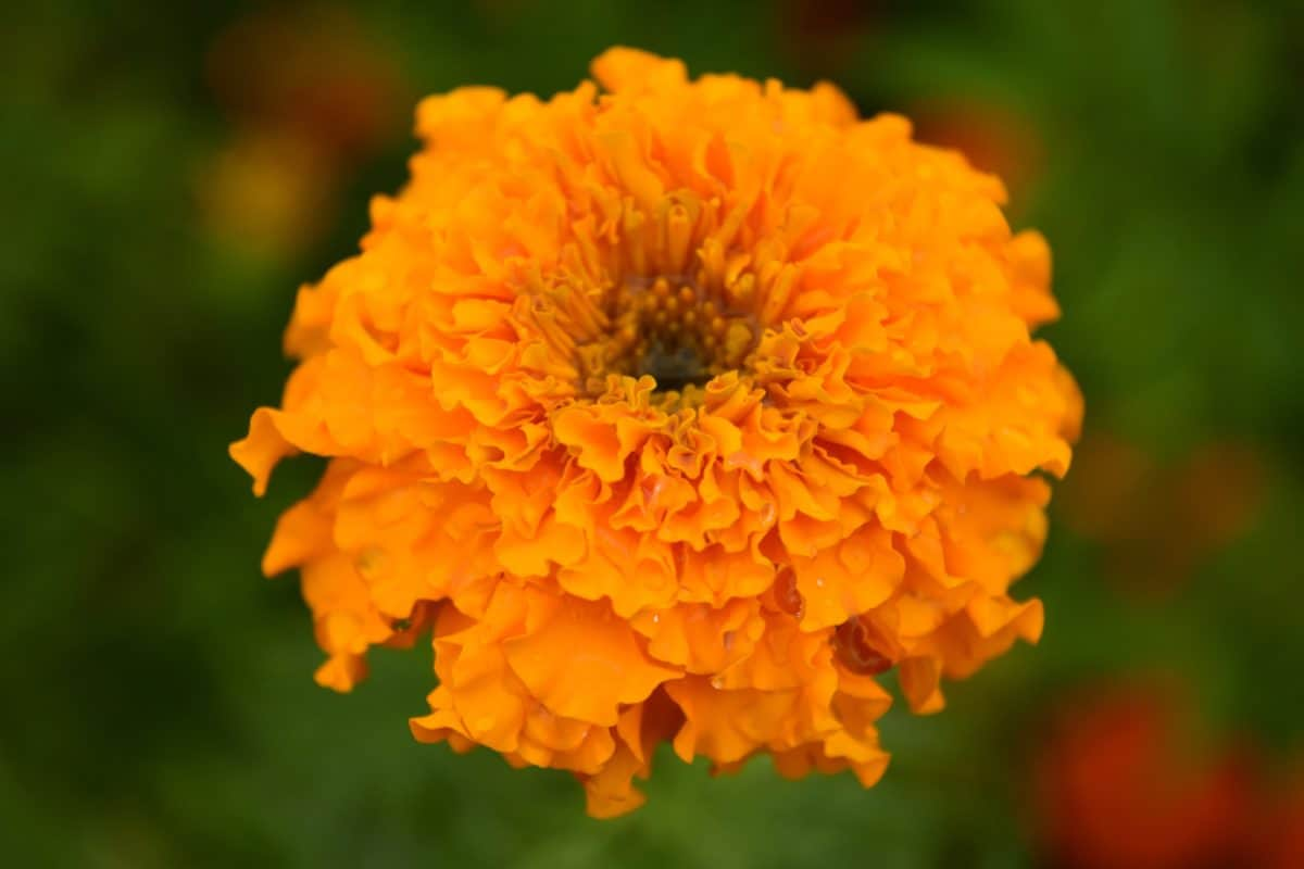 plante, fleur, pétale, herbe, jardin, fleur, fleurs, flore