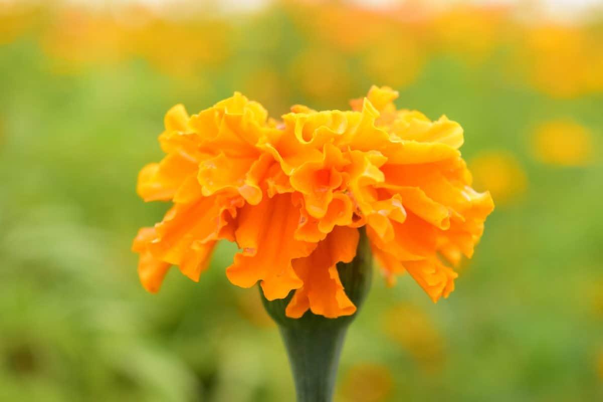 lumière du jour, carnation, jardin, fleur, pétale