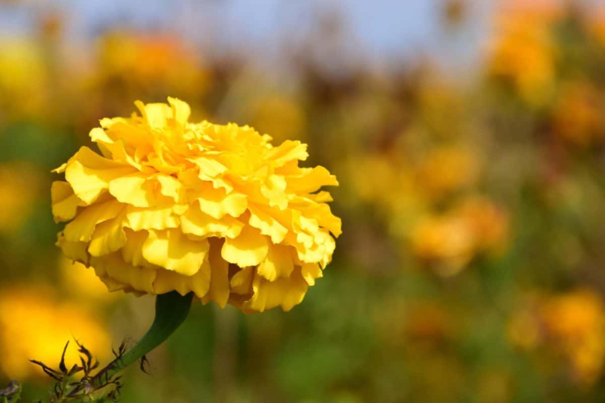Hortikultura, ljetno, biljka, biljka, cvijet, latica, cvijet, vrt, cvatu, ljeto