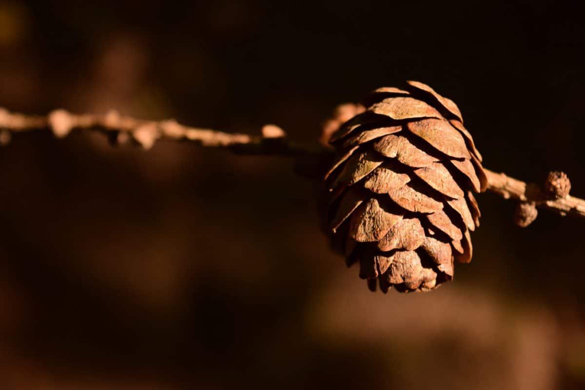 conifere, ramo, luce del giorno, all'aperto, albero, marrone