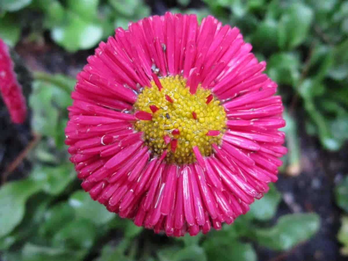 blomst, Støvvejen, pollen, plante, kronblad, detaljer, blossom, haven, bloom