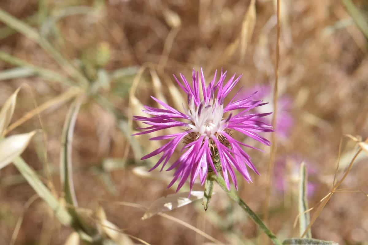 Wildflower, dagsljus, ört, växt, blomma, rosa, flora, blossom