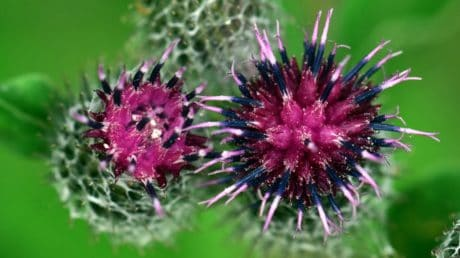 thistle, macro ,detail, daylight, thorn, herb, plant, flower