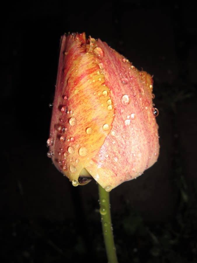 natura, tulipano, rugiada, l'umidità, macro, dettaglio, fiore, pianta, petalo