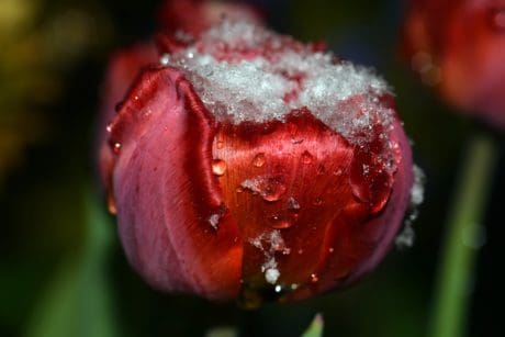 ice, snow, leaf, flower, nature, petal, tulip, plant, flora