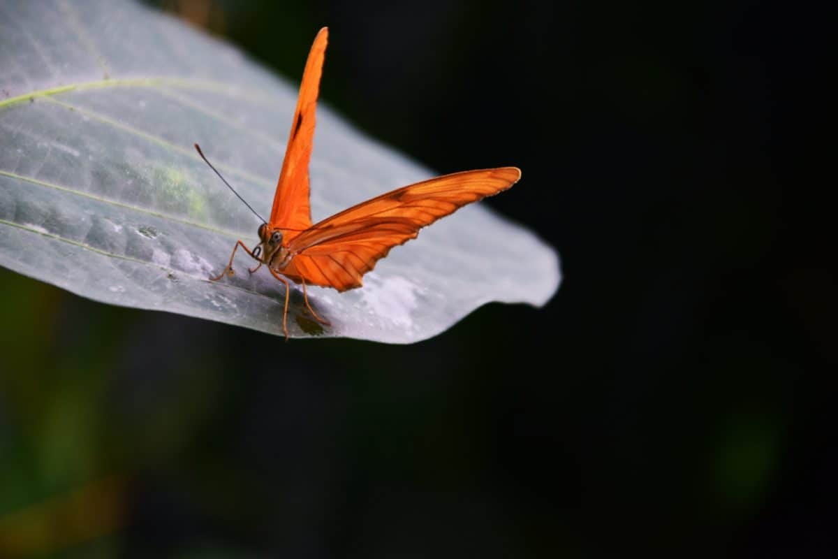 insect, butterfly, macro, wildlife, nature, mimicry, leaf, moth, arthropod