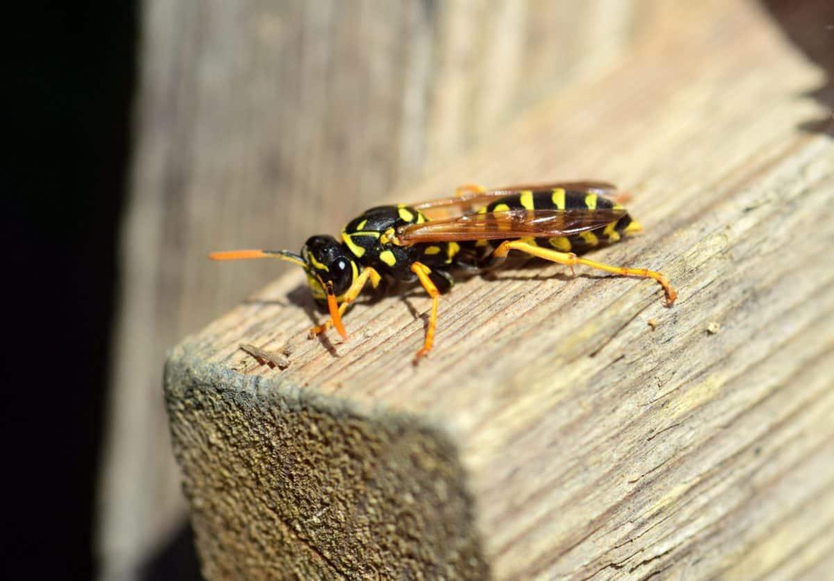Natur, Tiere, Makro, Tier, Insekten, Wespe, Gliederfüßer, Wirbellosen