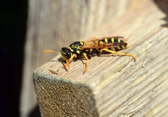 naturaleza, fauna, macro, animal, insecto, avispa, artrópodos, invertebrados