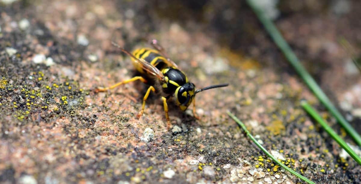 insect, animal, wildlife, nature, wild, wasp, arthropod, invertebrate