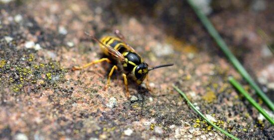 insecto, animal, fauna, naturaleza, salvaje, avispa, artrópodos, invertebrados
