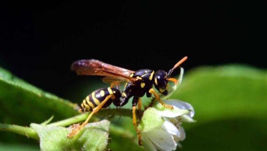 insecto, invertebrado, animal, fauna, naturaleza, avispa, macro
