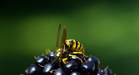 wasp, insect, berry, fruit, plant, macro, daylight