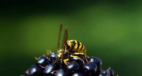 avispa, insecto, baya, fruta, planta, macro, luz del día