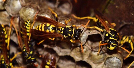 avispas, insectos, macro, animal, naturaleza, invertebrados