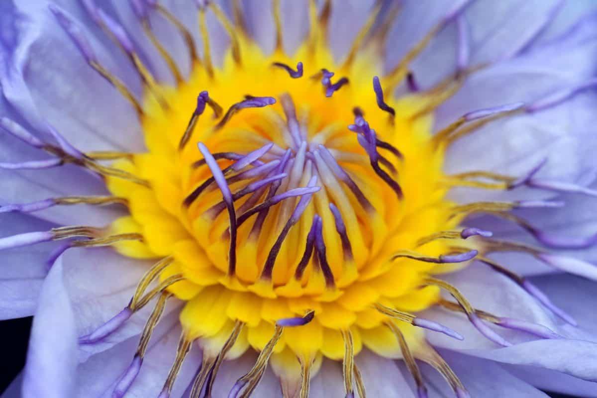 schön, Flora, Makro, Stempel, Sommer, Garten, Natur, Blume, Blüte