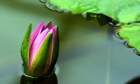 fleur, nature, lotus, feuille, plante d'intérieur