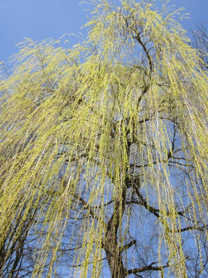 landscape, leaf, nature, tree, branch, willow, plant, forest