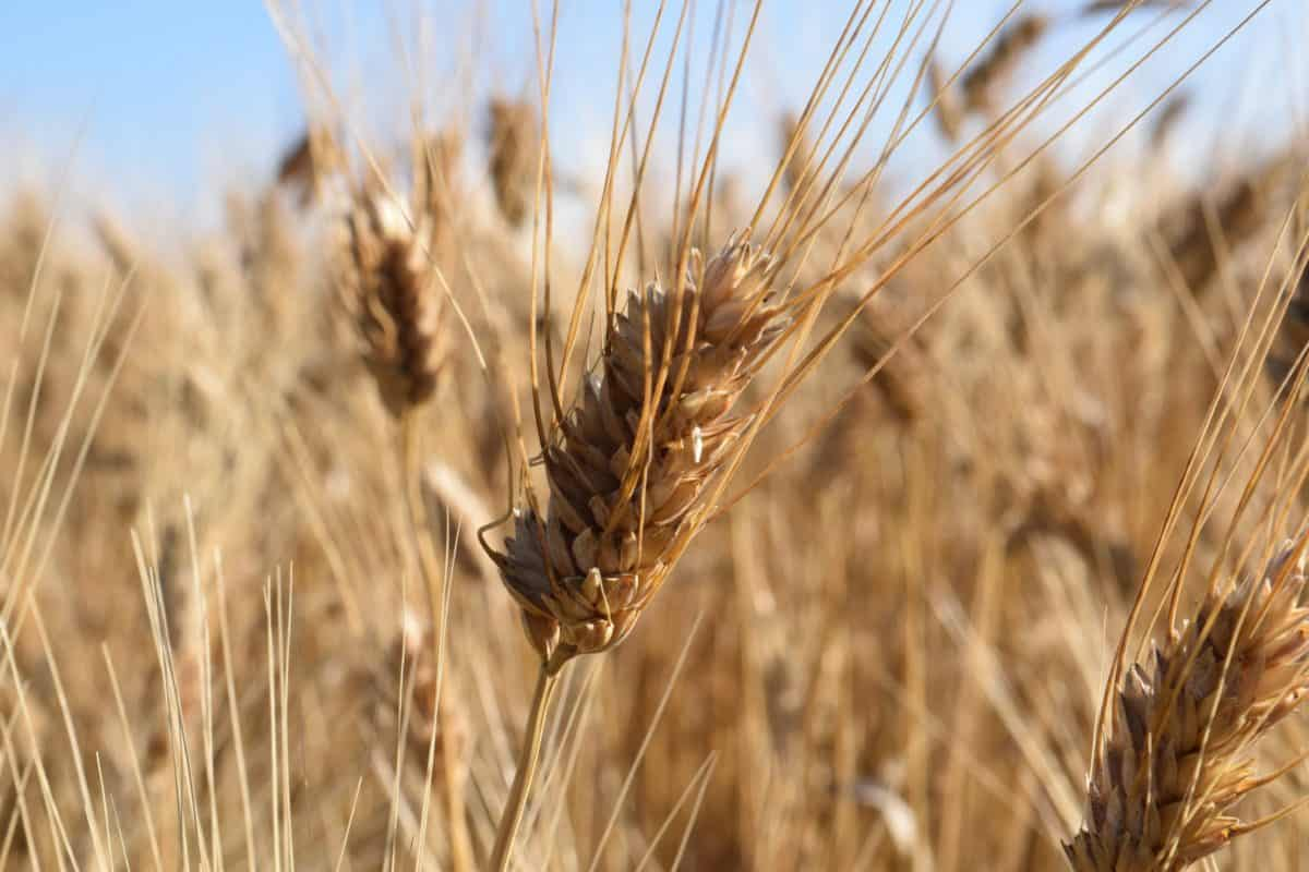 rye, straw, countryside, cereal, field, seed, outdoor