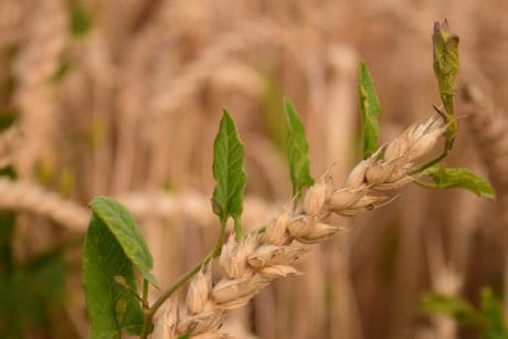 nature, leaf, cereal, field, agriculture, plant, seed, summer