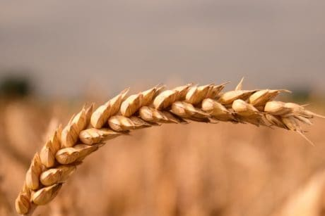 grain, agriculture, plant, food, summer, dry, outdoor, daylight, macro