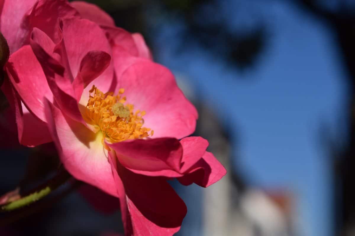 fiore, natura, pianta, rosa, fiore, rosa, petali