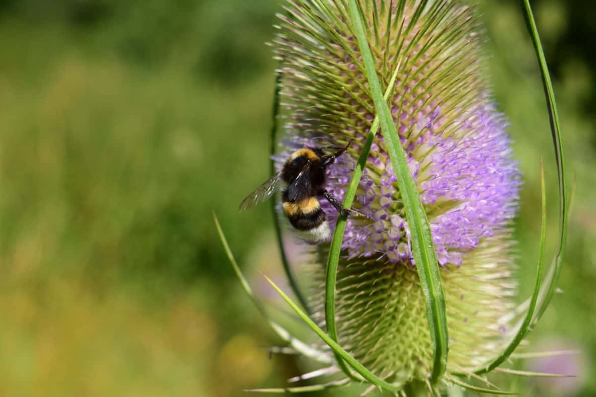 flower, bumblebee, summer, insect, nature, herb, plant, flora, daylight