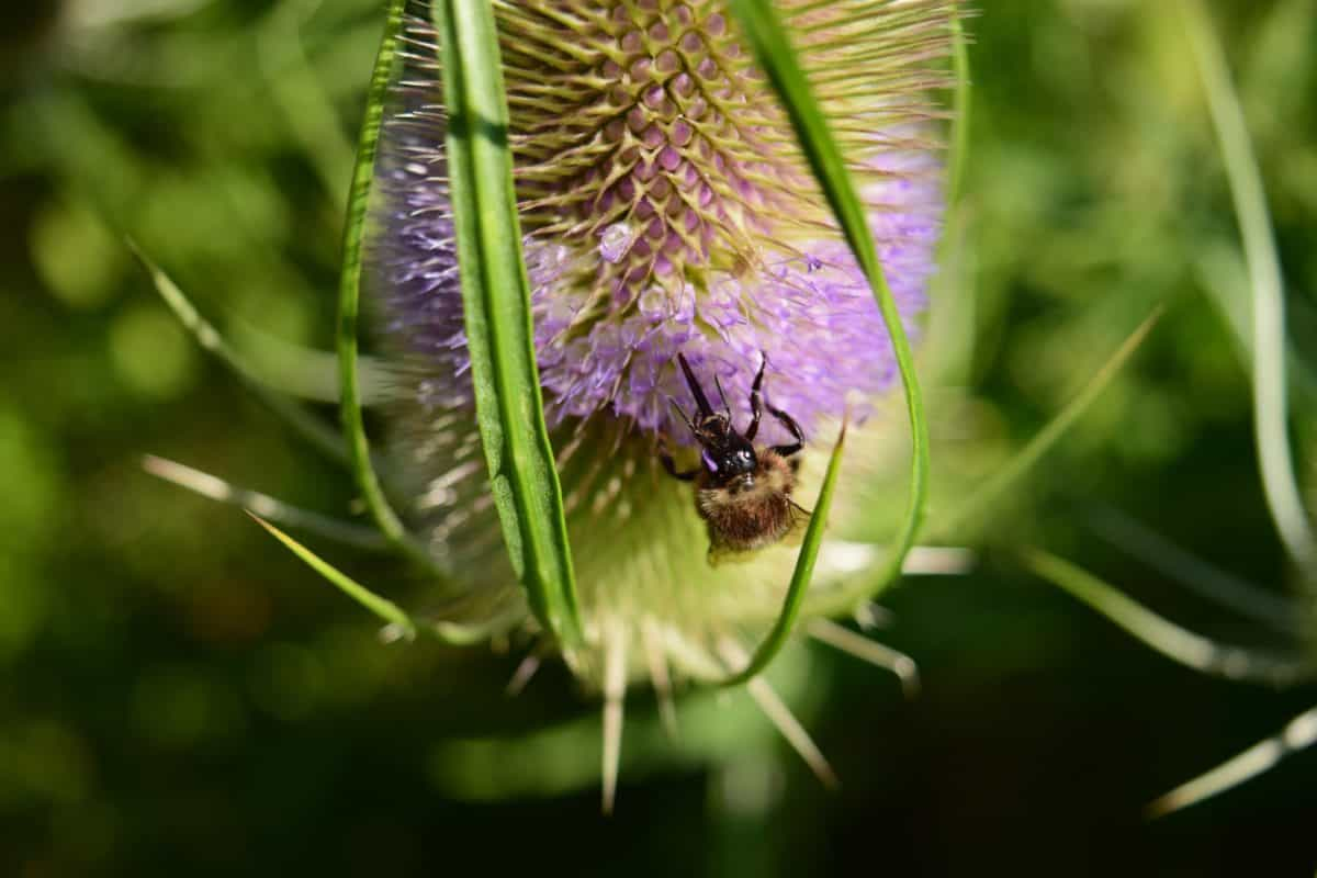 thistle, garden, insect, summer, flora, flower, nature, herb