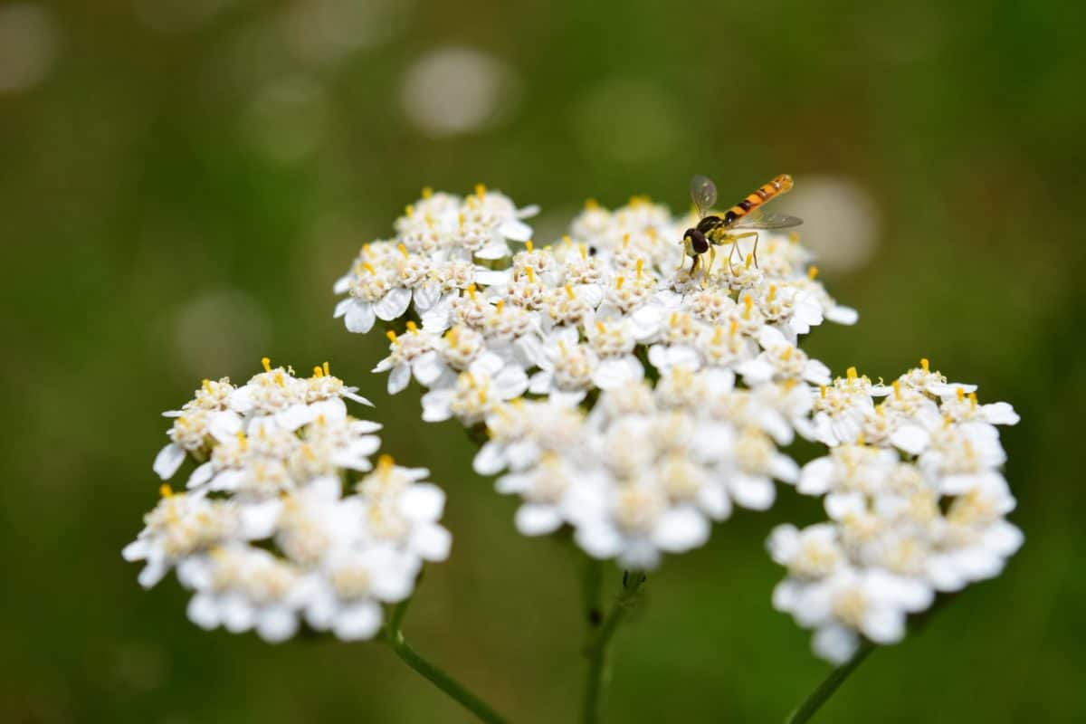 insect, flora, summer, wildflower, nature, herb, plant, blossom