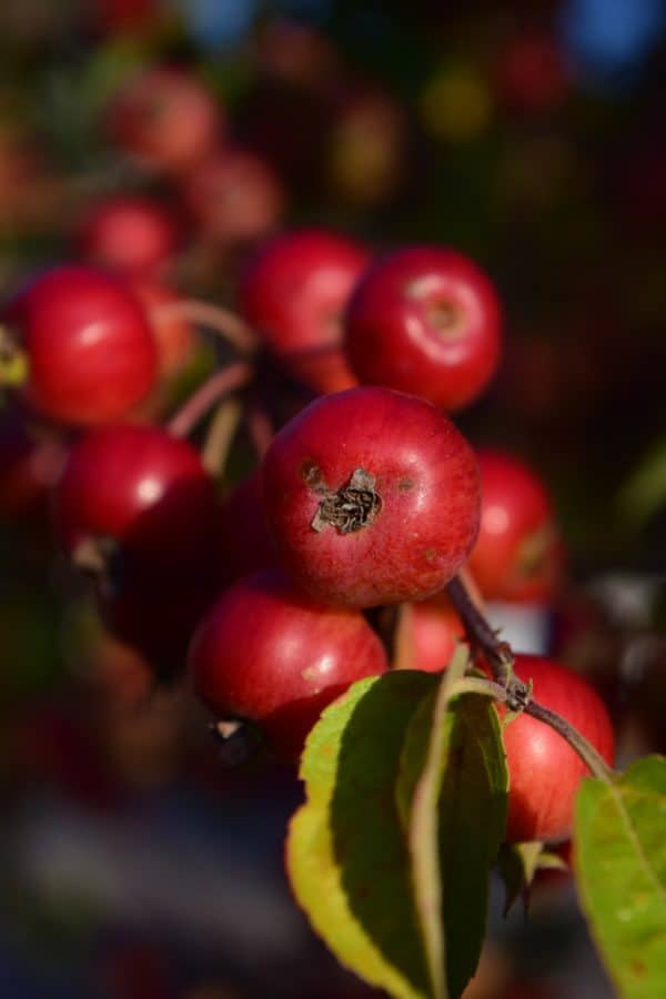 nature, green leaf, food, fruit, red apple, plant, sweet