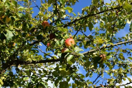 flora, tree, nature, leaf, summer, apple, fruit, branch, orchard