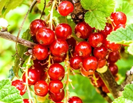 leaf, delicious, food, berry, nutrition, currant, nature, fruit