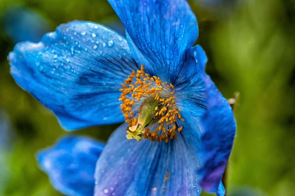 rosée, pluie, été, fleur, feuille, nature, flore, macro, pistil