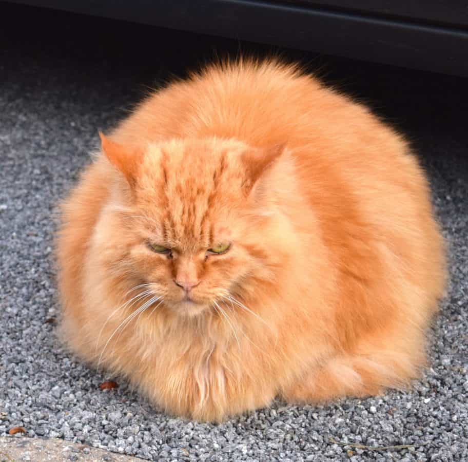 piel, gato, lindo, animal, gatito, retrato, mascota, felino