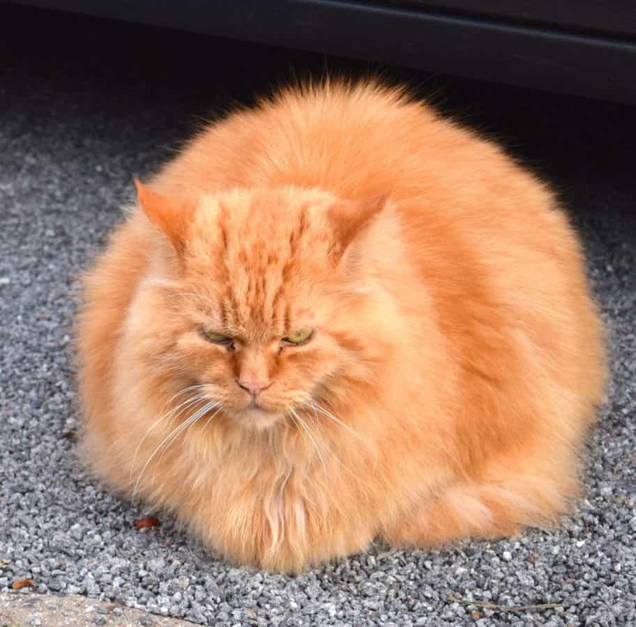 fourrure, chat, chaton mignon, animal, portrait, animal, félin