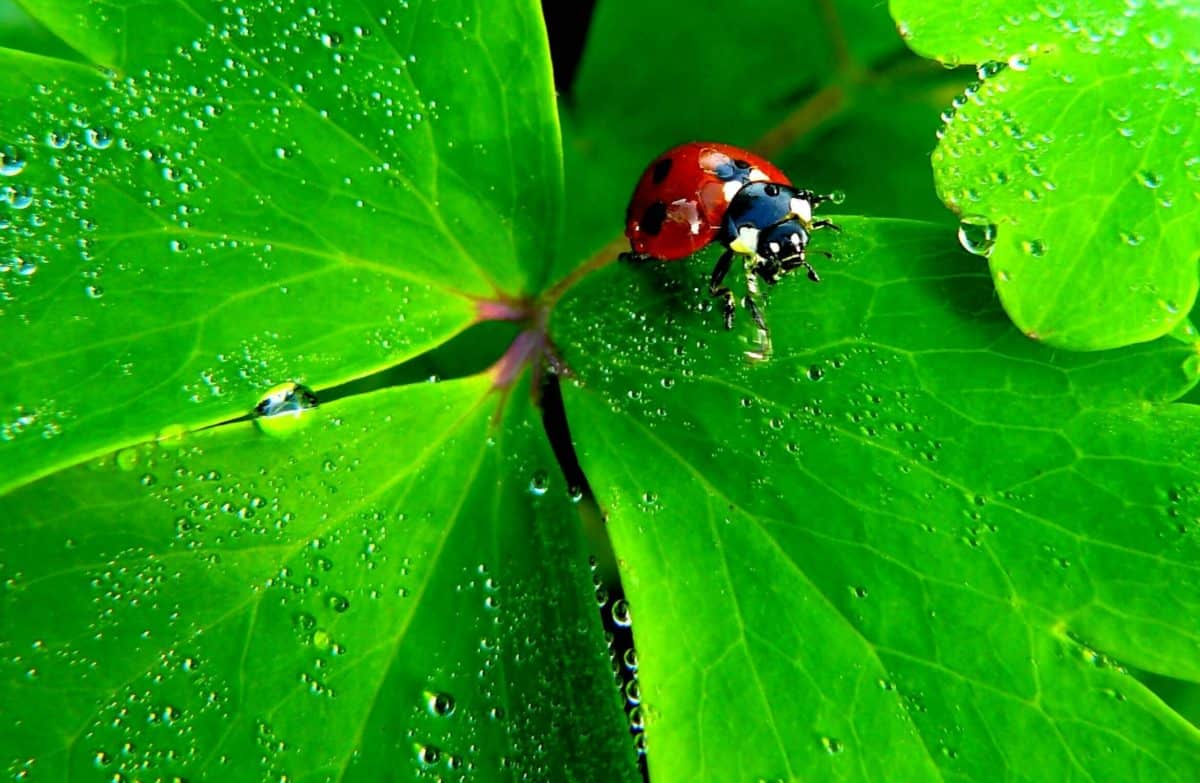 naturaleza, lluvia, jardín, hoja, Mariquita, flora, Rocío, escarabajo, insecto