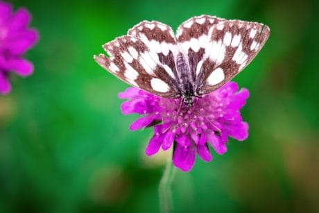 flora, garden, nature, wildflower, summer, butterfly, herb, macro, pink