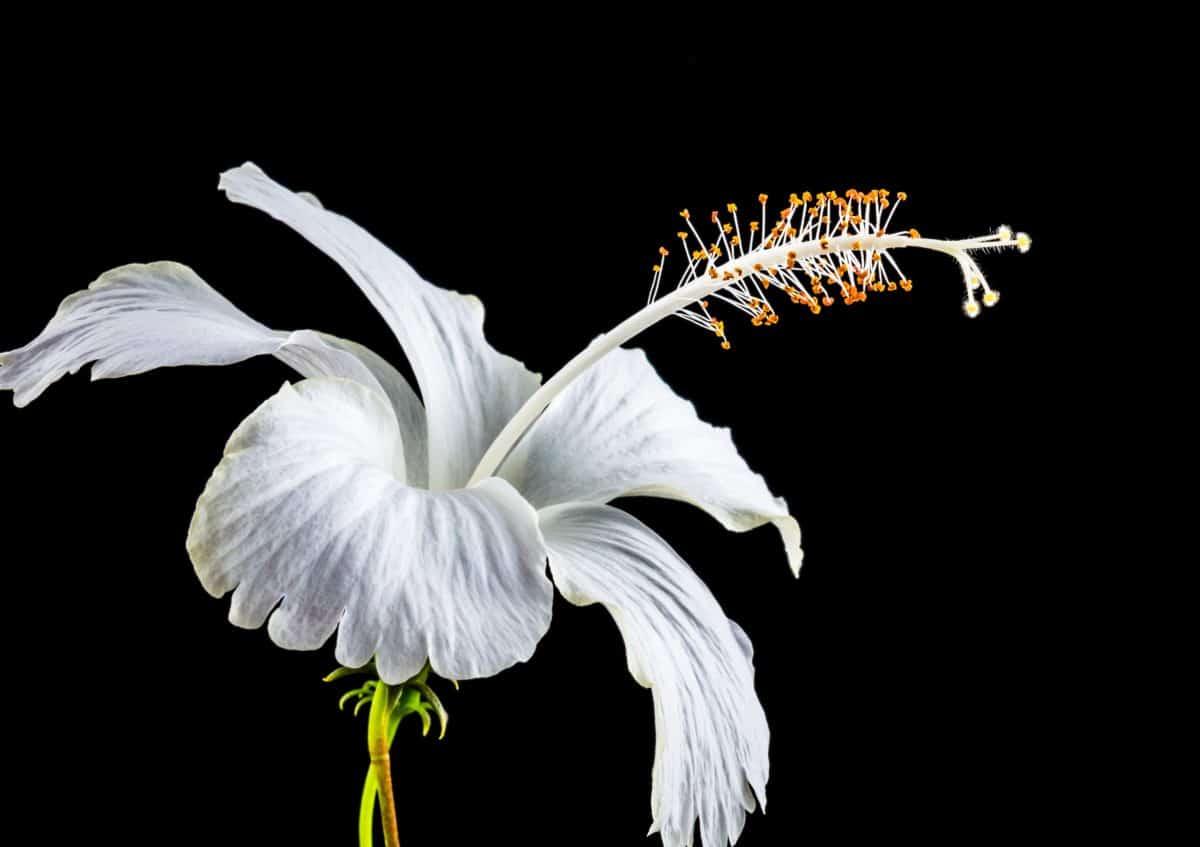 nature, white, white flower, macro, pistil, detail, pollen