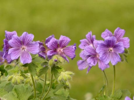 flora, nature, petal, meadow, garden, wildflower, summer, geranium